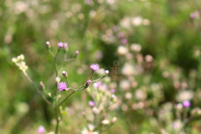 Purpury świrzepy kwiat zdjęcia royalty free