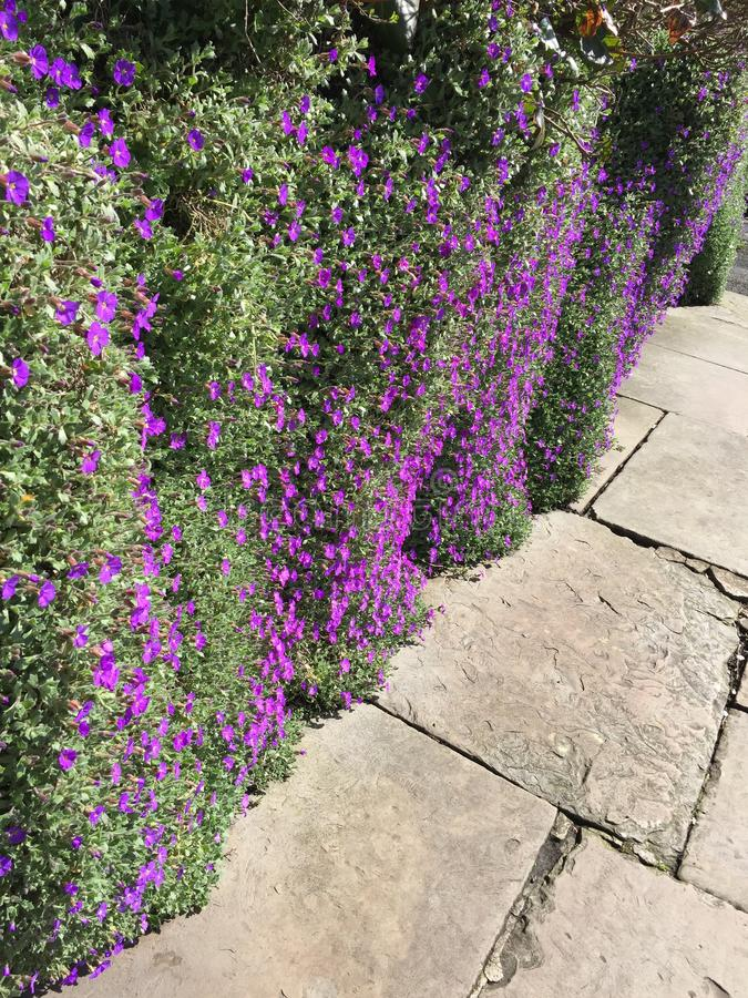 purpury zdjęcie royalty free