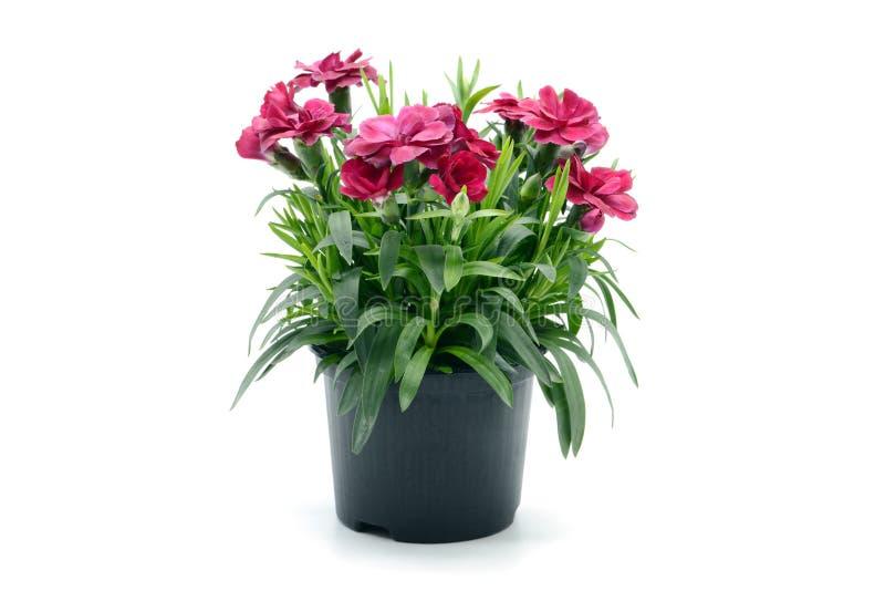 Purpury dianthus różowy kwiat w flowerpot puszkujący na białym isolat obrazy stock