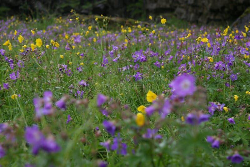 Purpury i Żółci kwiaty, Silfra Iceland obrazy stock