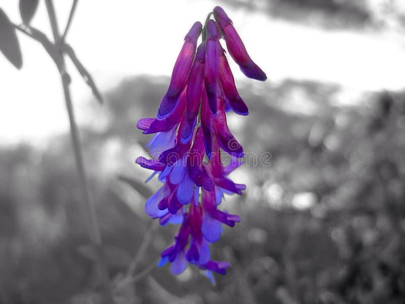 Purpury i Błękitny dziki kwiat fotografia stock