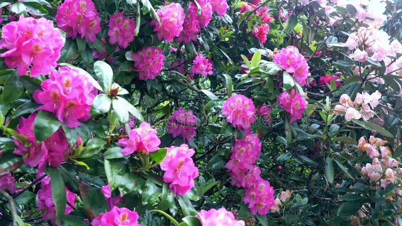 Purpury i czerwoni kwiaty różanecznik obrazy stock