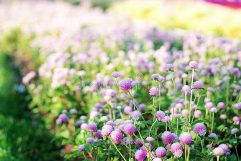 Purpury kierowniczy kwiat na plantacji obrazy royalty free