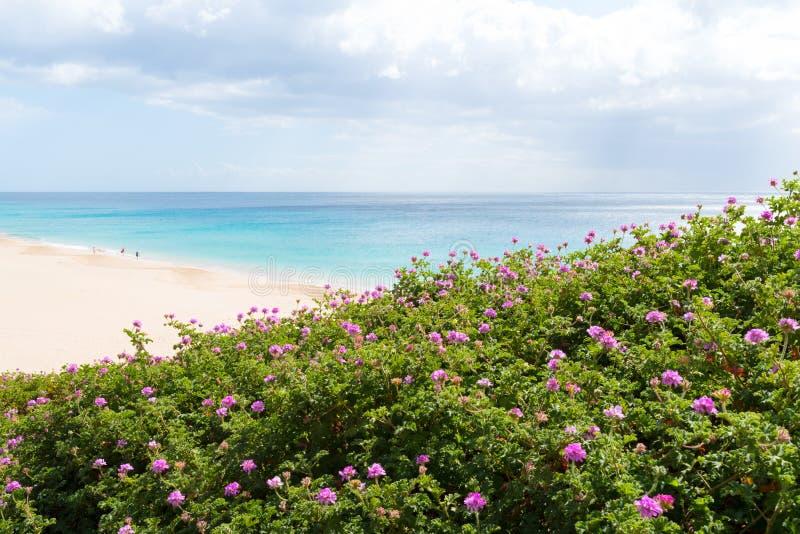 Purpury kwitną na krzakach z ludźmi chodzi na szerokiej plaży z turkusowym oceanem zdjęcia stock