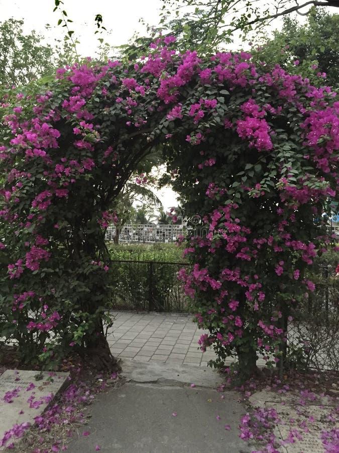 Purpury kwitnęli Bougainvillea drzewa obraz stock
