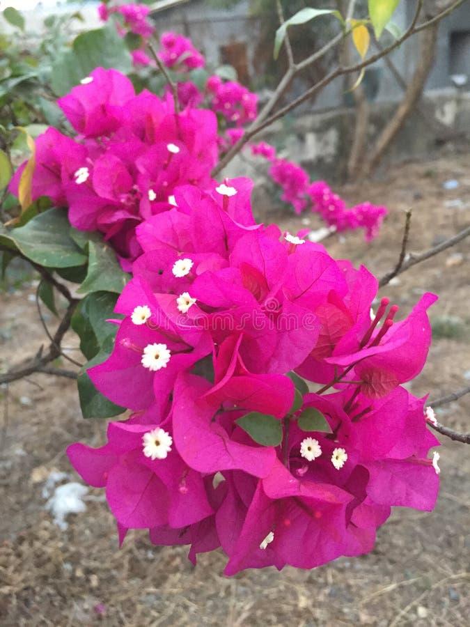 Purpury kwitnęli Bougainvillea drzewa zdjęcia royalty free