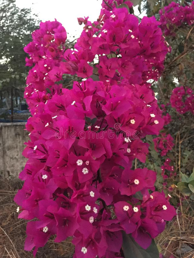 Purpury kwitnęli Bougainvillea drzewa fotografia stock