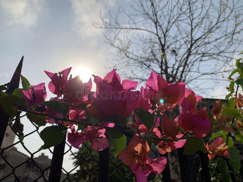 Purpury kwitnęli Bougainvillea drzewa zdjęcia stock