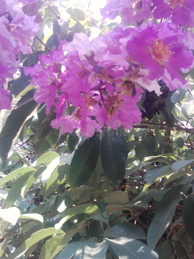 Purpury okwitnięcie fotografia stock
