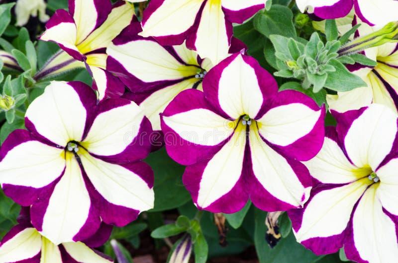 Purpury petunia kwitnie w wiosna sezonie przy ogródem botanicznym obrazy royalty free