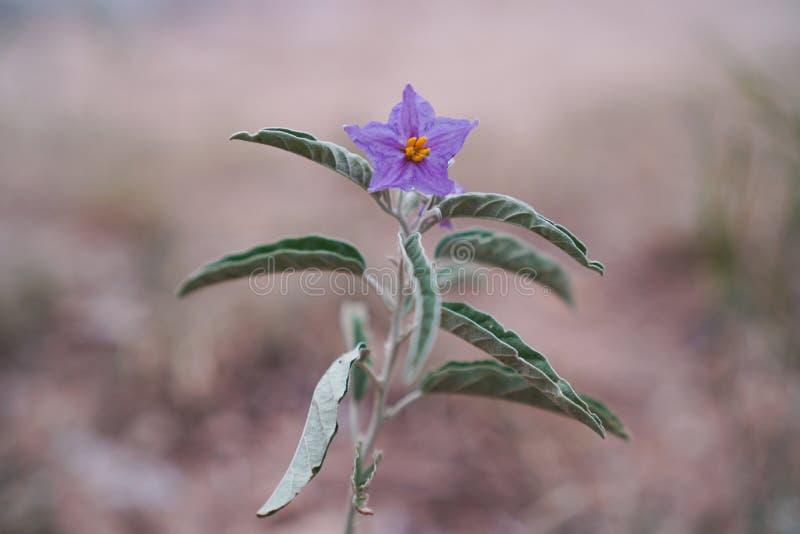 Purpury pustynny Solanum fotografia stock