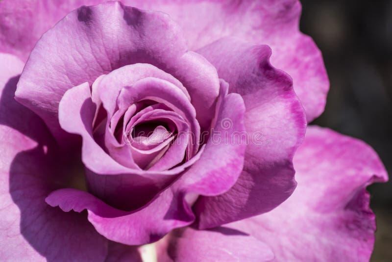 Purpury róża zdjęcia royalty free