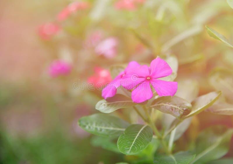 Purpury róży barwinek w kwiatu ogródzie fotografia stock