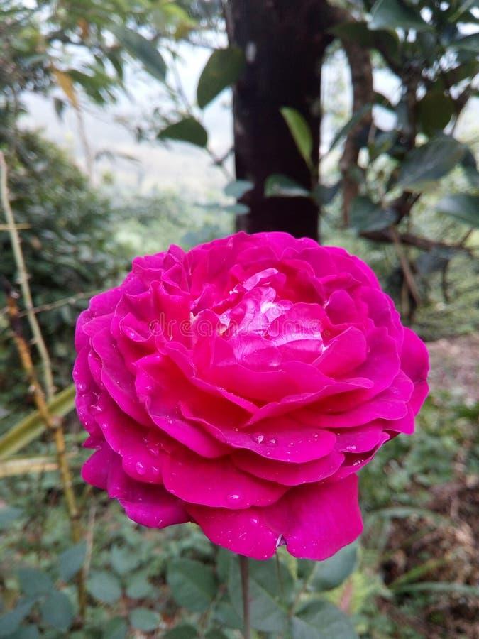 Purpury róży kwiatu sri lanka obrazy stock