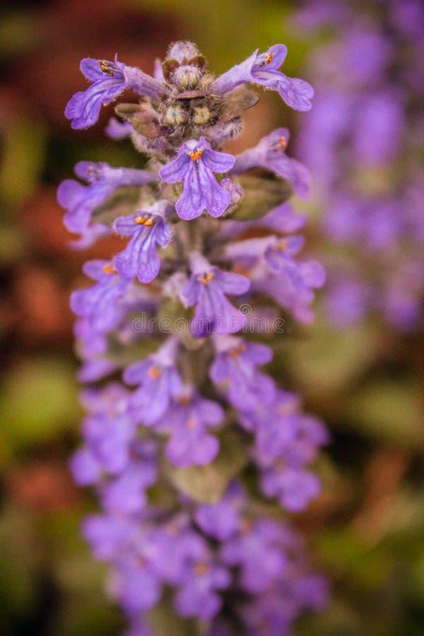 Purpury roślina zdjęcie stock