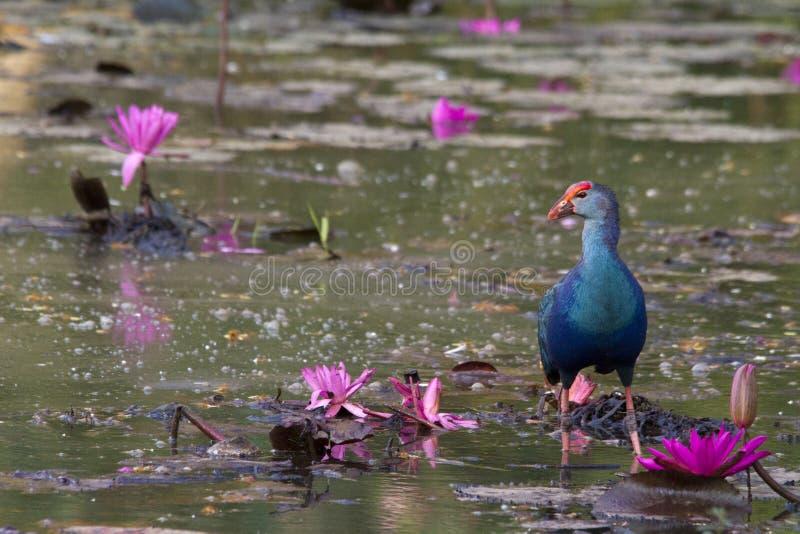 purpury swamphen fotografia stock