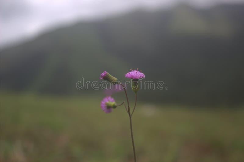 Purpury w wzgórzu obraz royalty free