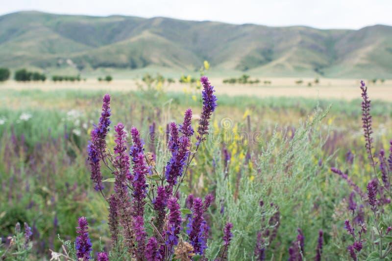Purpury zasadzają na tle góra Makro- strzelanina zdjęcia stock