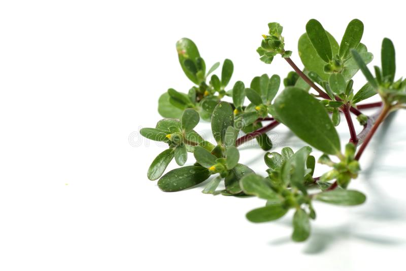 purslane plant or Portulaca isolated stock photos