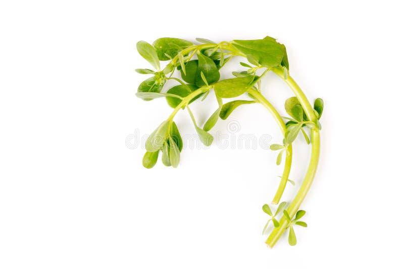 Purslane verde sano organico fotografie stock libere da diritti