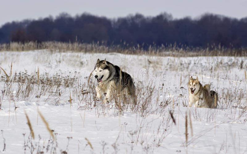 Download Pursuit stock photo. Image of purebred, husky, snow, winter - 13479876