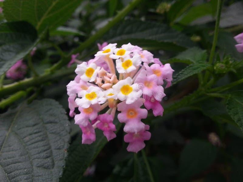 Purus-Blume stockfotos
