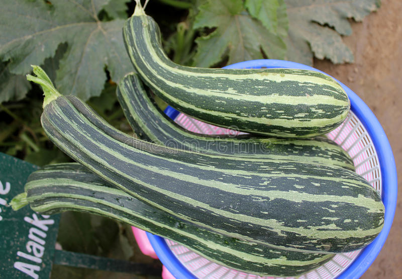 Pusa Alankar Summer squash. F1 Heterosis product of cross between Australian Green and Yolo Prolofic released by IARI in 2005 with dark green fruit with light royalty free stock image
