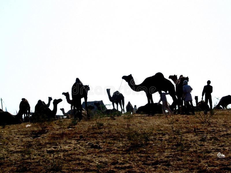 Download Pushkar editorial photography. Image of domestic, cattle - 24112432