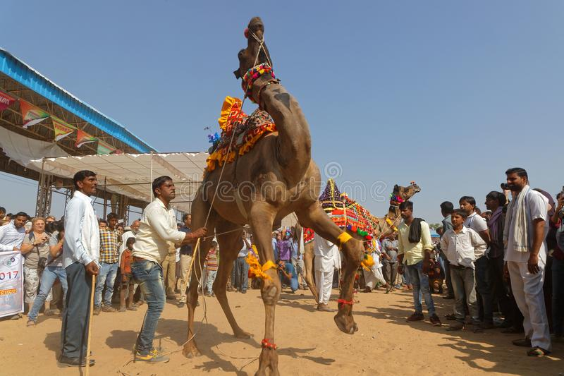Camels are dancing for the Pushkar fair royalty free stock photography
