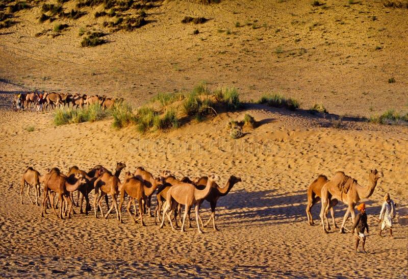 PUSHKAR, INDIEN - 17. NOVEMBER: Kamele am jährlichen Viehbestand fai stockfotos