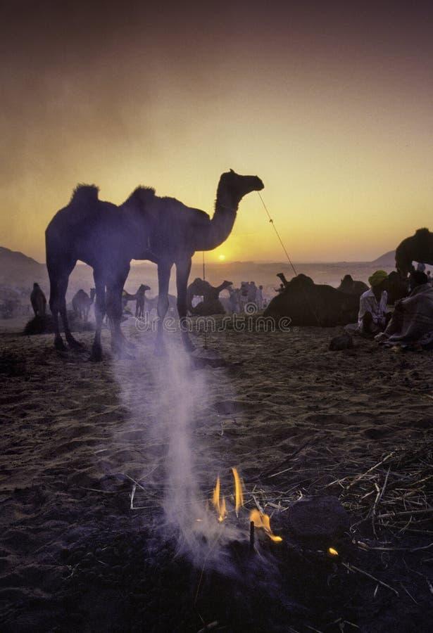 PUSHKAR, INDIEN - 17. NOVEMBER: Kamele am jährlichen Viehbestand fai stockbilder