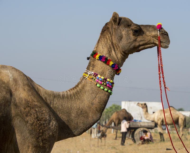 Pushkar International Camel fair royalty free stock images