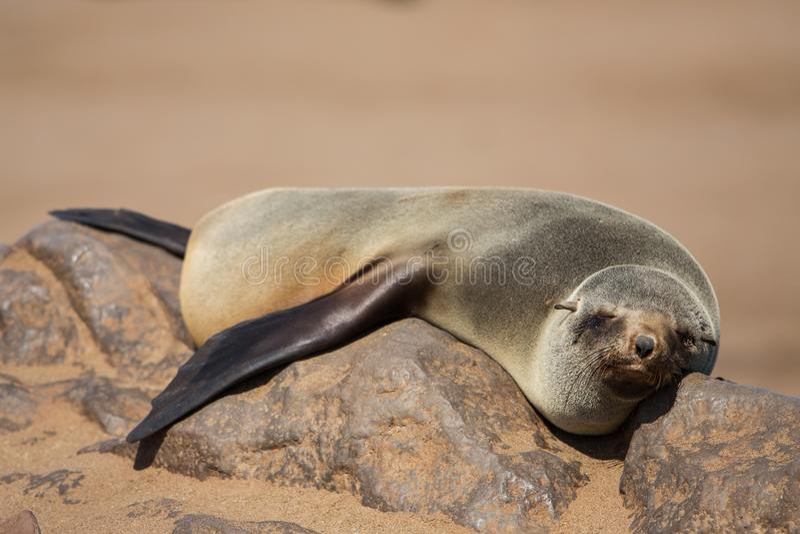 Pusillus marrom preguiçoso do Arctocephalus do lobo-marinho que olha fixamente na câmera imagens de stock royalty free