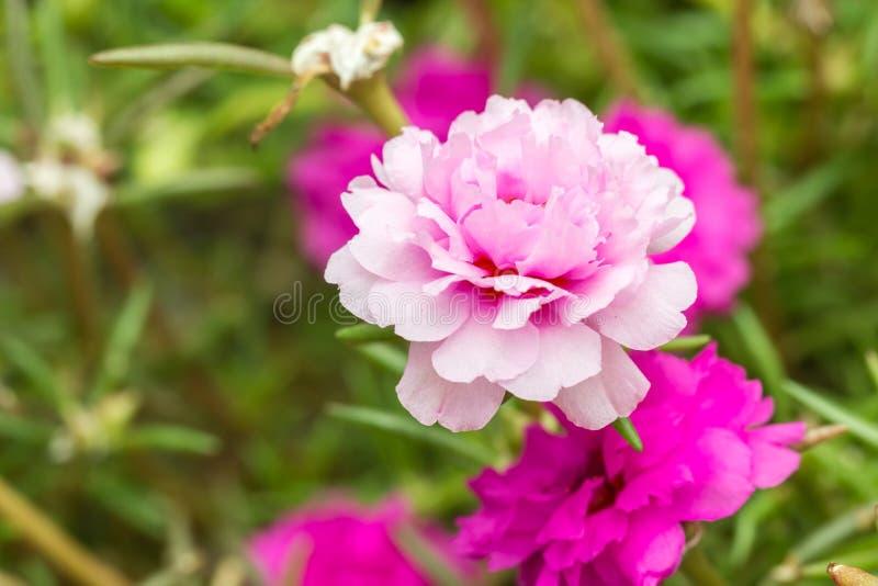 Pusley flowerportulaca oleracea stock photo image of fresh download pusley flowerportulaca oleracea stock photo image of fresh tropical mightylinksfo