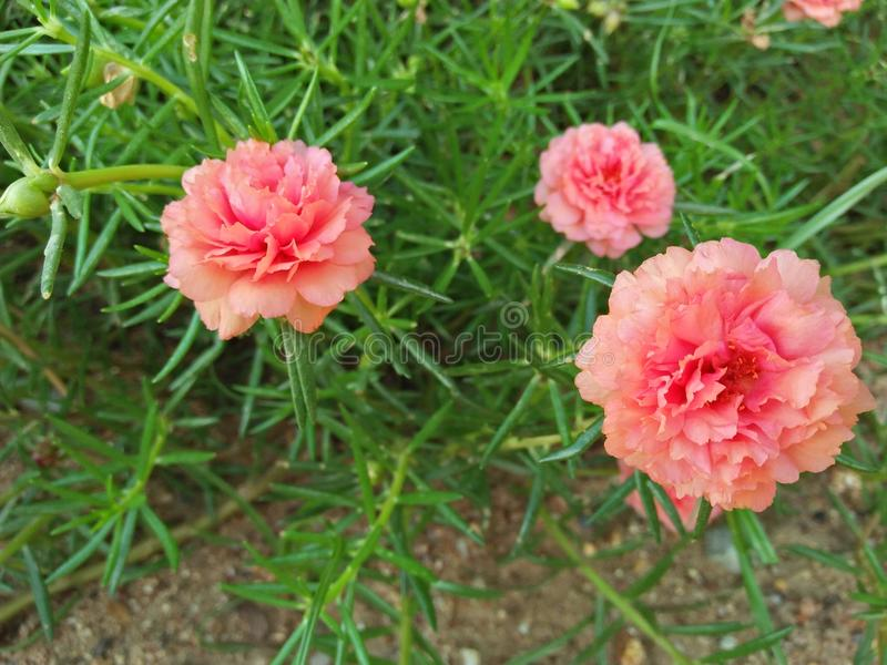 Pusley rose photos libres de droits