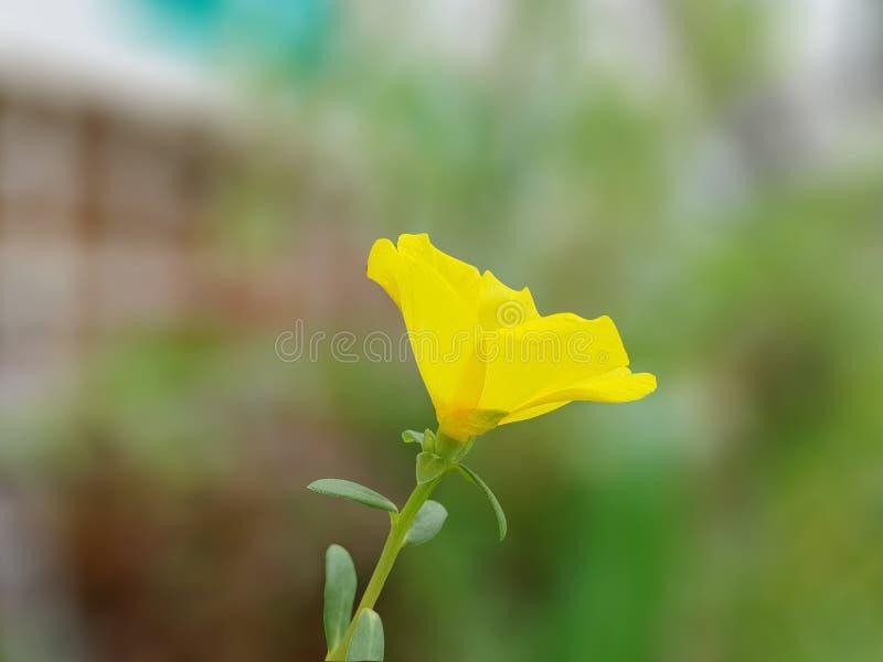 Pussley giallo di fioritura fotografie stock libere da diritti