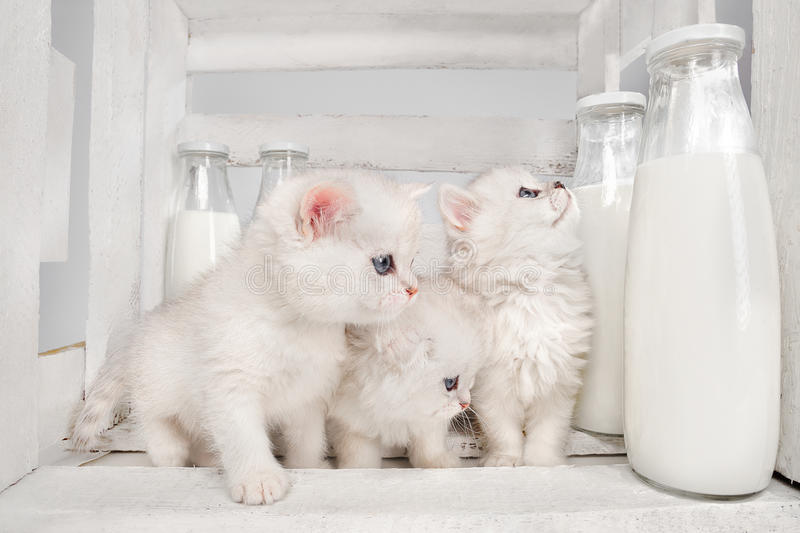 Cats with milk. White Persian cats with milk on white wooden background royalty free stock images