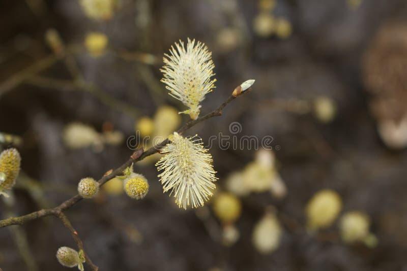 Pussy de Wilg of de Geit zal Salix-caprea dicht omhoog macroknoppen royalty-vrije stock fotografie