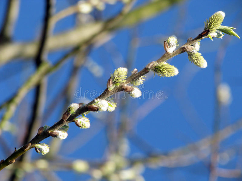 Download Willow Royalty Free Stock Photo - Image: 19158525