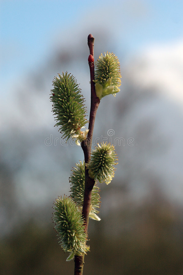 Download Willow stock photo. Image of branch, spring, natural, closeup - 2132682