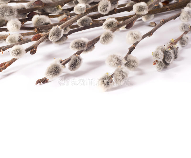 Download Pussy-willow stock image. Image of plant, decorative - 24316313