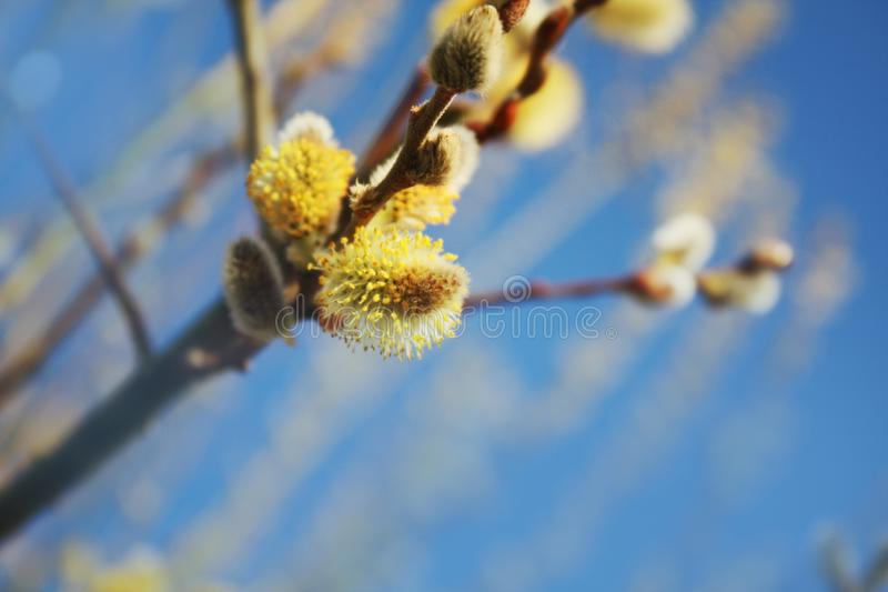 Pussy willow on the blue sky background. stock image