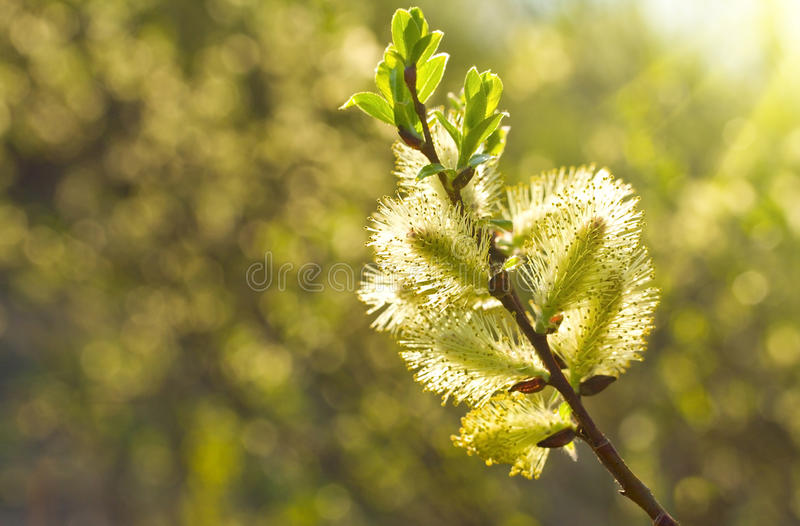 Download Willow Branch Stock Photography - Image: 23160242