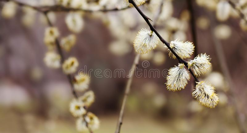 Pussy willow branch closeup. Beautiful spring floral background with budding tree. Selective focus. royalty free stock photography