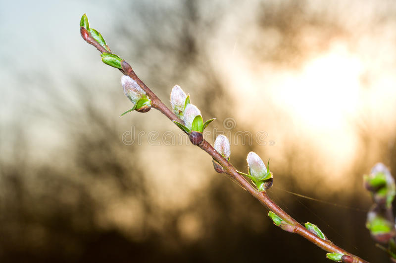 Pussy-willow branch at dawn royalty free stock image