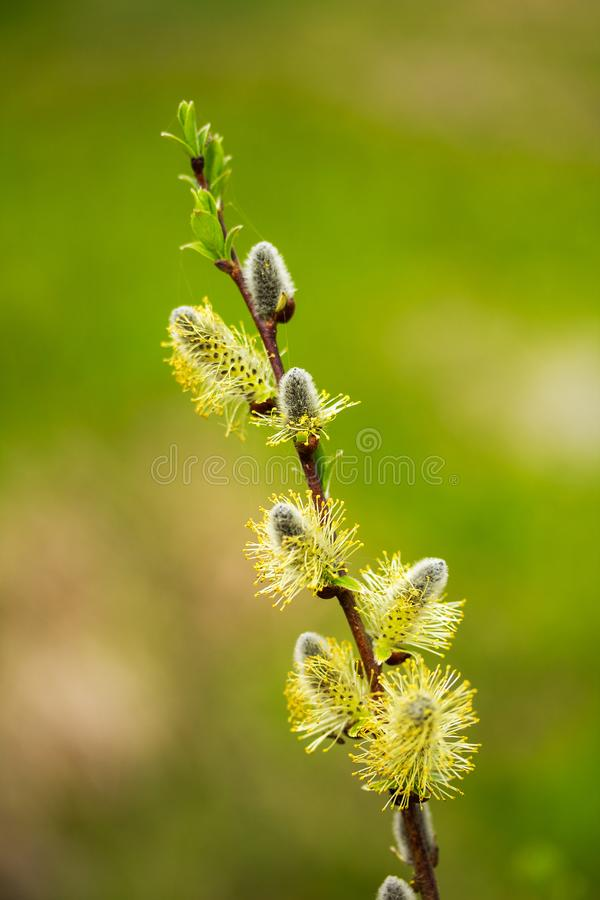 Pussy willow branch on green background royalty free stock photography