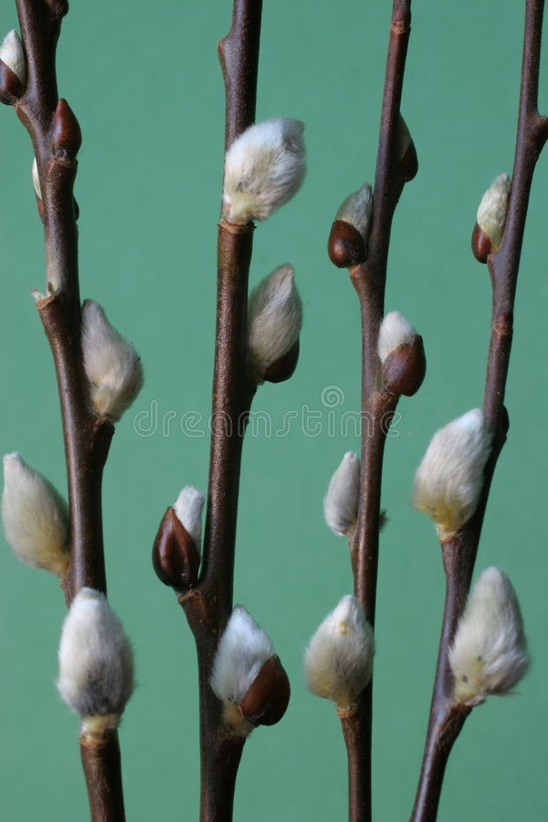 Download Willow branches stock image. Image of nature, green, willow - 98729