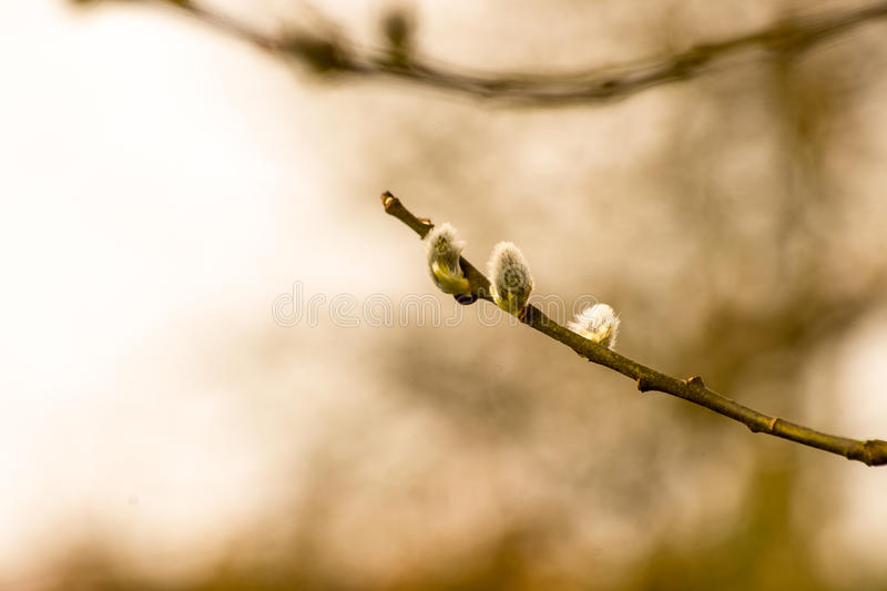 Willow branches. Begin to bloom as winter approaches its end royalty free stock photography