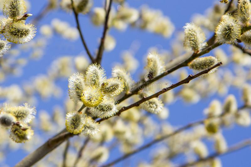 willow branches with catkins, traditional easter symbol in orthodox church, spring background royalty free stock images