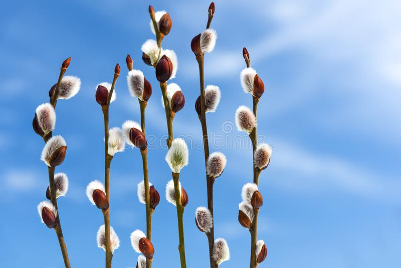 Willow buds with blue sky. Spring willow branches on blue sky background in close-up royalty free stock photo